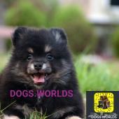 كلاب نادرة اجمل كلاب بوميرينيان في العالم