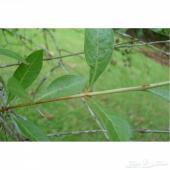 بذور شجرة الحناء
