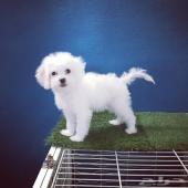 كلب مالتيز صغير للبيع بالرياض