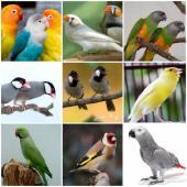 طيور زينة ببغاوات كاسكو مستلزمات طيور واكل