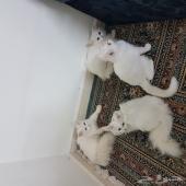 قطط شيرازي العمر شهرين لعوبات بريدة
