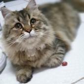 للتبني  قطط شيرازي امريكي