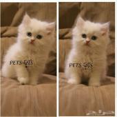 قط ابيض صغير