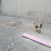 بيض دجاج بلدي طازج وبومي