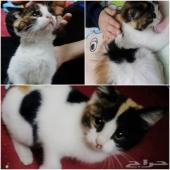 قطة للبيع شيرازية صغيرة 250