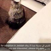 قطه للتبني في مدينه جده