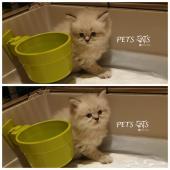 قطة هملايا انثى صغيرة
