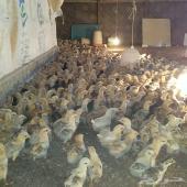 صوص دجاج بلدي سلالة ممتازة