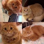 قطة مفقودة في عنيزة