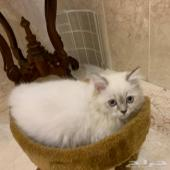 قطه هملايا مع اغراضه