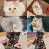 كيتن للبيع قطط شهر ونص صغيره للبيع نوع ممتاز