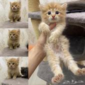 قطط شيرازيات صغار للبيع بأقل من سعر السوق
