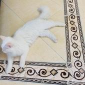 قطط هملايا - شيرازي للبيع
