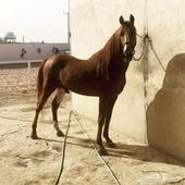 حصان شعبي فاخر خيل