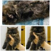 قطط تهجين شيرازي وهملايا