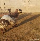 خروف فحل نعيمي  جبر  الحد 700