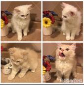 قطط شيرازيه صغيره
