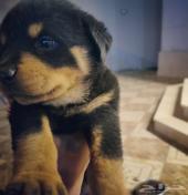 جرو روت وايلر Rottweiler puppie