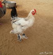 دجاج براهما كولمبي القنفذه
