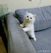 قطط صغيرة كتن شيرازي بيور