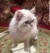 للبيع قطه هملايا