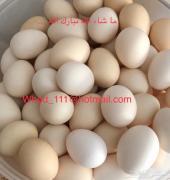 بيض بلدي للأكل عنيزة توصيل مجاني