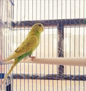 طيور بادجي راجع