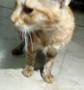 قط شيرازي للبيع العاجل