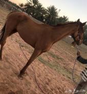 حصان انتاج