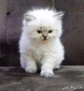 للبيع قطة همالايا عمرها 40 يوم