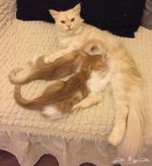 قطط شيرازية للتبني  بدون مقابل
