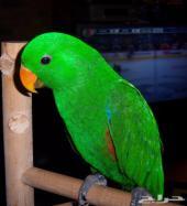 اكلكتوس جده Eclectus Parrots
