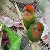 طيور روز 2ذكور للبيع