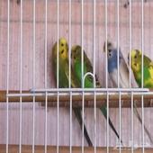 عصافير حب للبيع زوجين