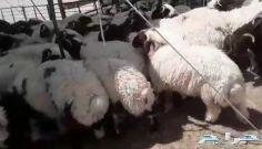 للبيع بهم نعيم خروف صافي