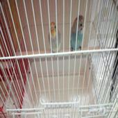 عصافير باداجي (طيور الحب)