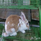 ارانب منتجه وفطام المظيلف