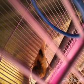 ذكر كناري ذكر جاوا 2 طيور بنغالي