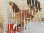 دجاجة بلدي معها 6 فرخ (تم البيع)