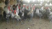 ( تم البيع )دجاج فيومي ... اصل