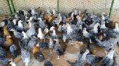 ( تم البيع ) دجاج فيومي