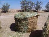 أعلاف للبيع رودس برسيم تبن حصاد جديد