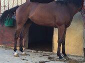 حصان انجليزي انتاج