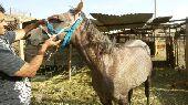 حصان عربي للبيع في الباحه معشوقة