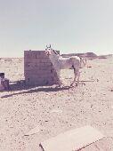 حصان عربي هادي الطبع