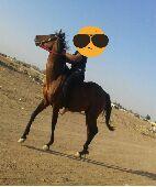 حصان للبيع او بدل