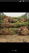 توريد وتركيب جميع انواع النخيل قلع غرس بيع شرا عربي واشنطني قسم خاص لشبوك المزارع و الكسارات والطرق