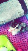 لدي قطوة شيرازي فيس مون كاليكو للبيع