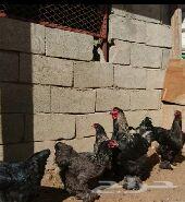 بيض دجاج براهما فواخر حجم كبير
