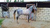 حصان عربي - شعبي